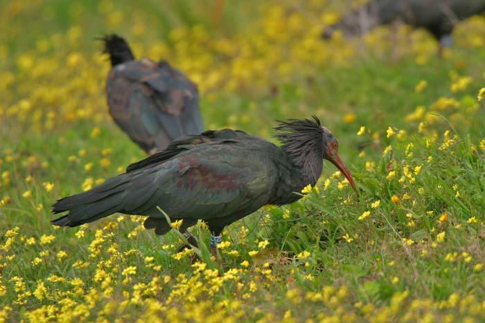 bald ibis breeding andalusian