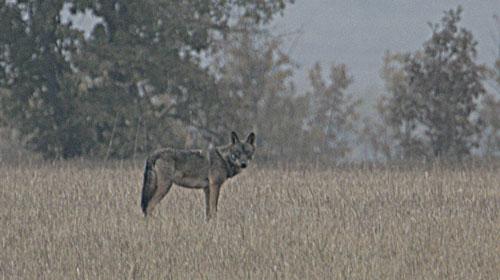 lobo sierra de la culebra