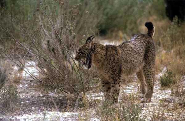 free downloading of iberian lynx habitat