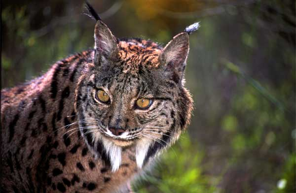 http://www.iberianature.com/material/photos/spain_wildlife/wildlife/iberian_lynx_7.jpg
