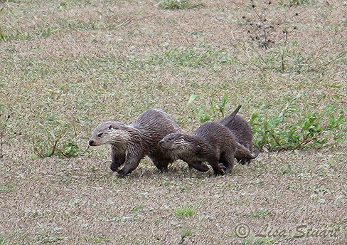 otters_running