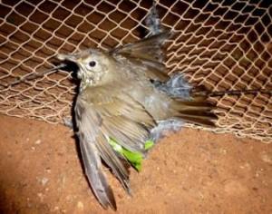 dying-bird