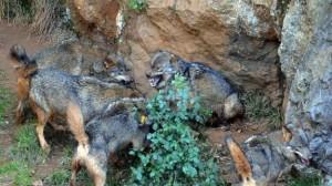 Lobos en el recinto de Cabárceno / Teresa Cobo
